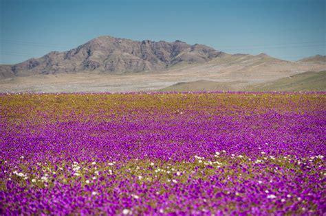 fiore deserto deserto di atacama in fiore uno spettacolo da togliere il
