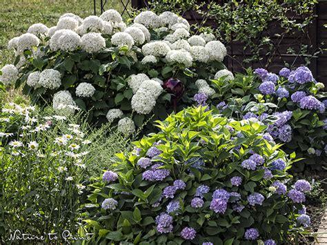 Hortensie Endless Summer Schneiden 4634 by Hortensien Im Pflanzk 252 Bel Pflegen Und Sicher 252 Berwintern