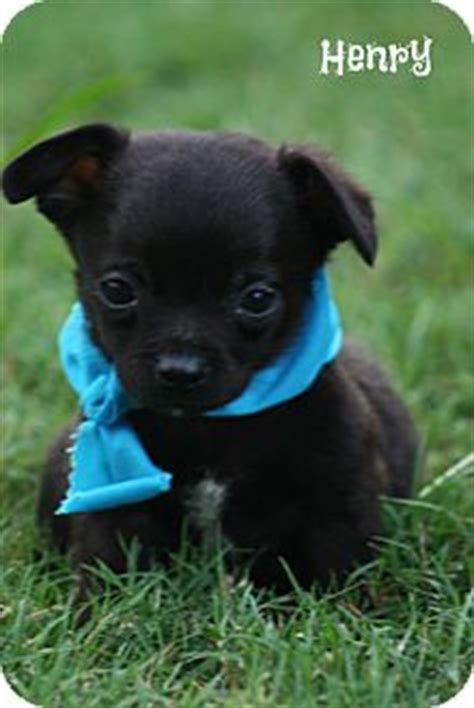 pugs vermont chihuahua pug mix puppy for adoption in brattleboro vermont henry