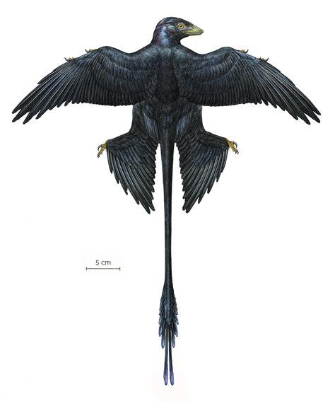 microraptor s iridescent black feathers dinosaur fossils