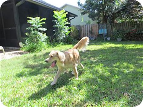 golden retriever jacksonville fl gabby adopted jacksonville fl golden retriever mix