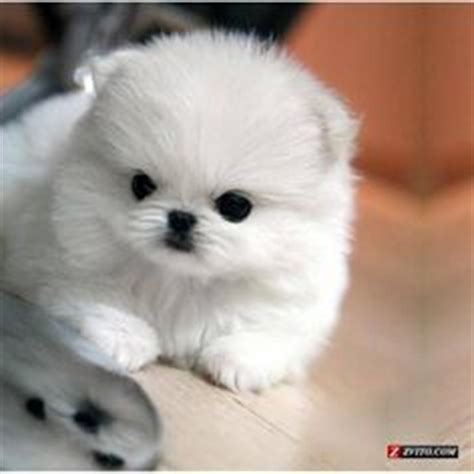 Do Teacup Pomeranian Shed by So On Tibetan Terrier Norwich Terrier