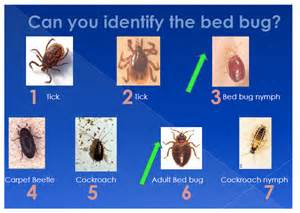 how to identify bed bugs bed bugs northwest