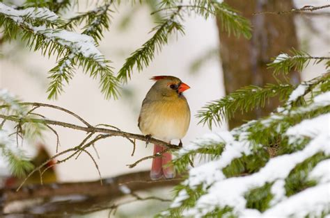a basic guide to winter birding in canada armstrong