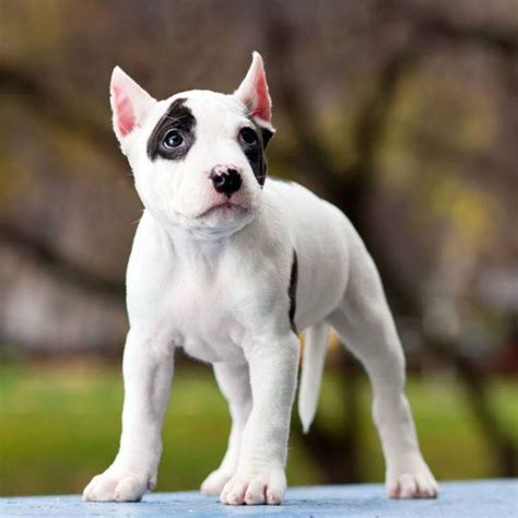 pitbull names list pit bull names best and pitbull names unique puppys and pit bull