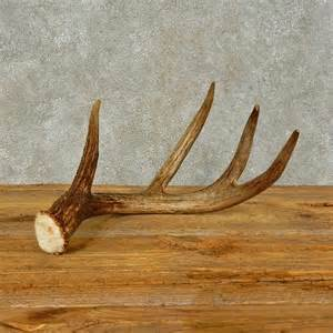 whitetail deer antler shed for sale 16436 the taxidermy