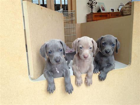 blue weimaraner puppies for sale blue weimaraner pups fraserburgh aberdeenshire pets4homes