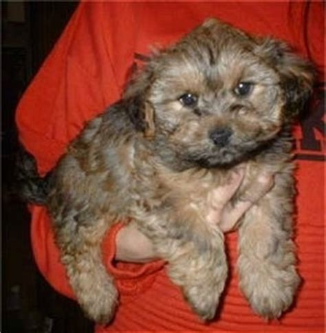 yorkie terrier poodle mix yorkipoo breed pictures 2