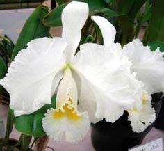 photographing orchids greater new york international cattleya mossiae var semi alba h orchids pinterest