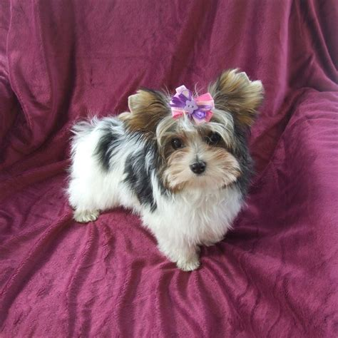 biewer parti yorkie parti yorkies parti terrier club yorkie puppy names for and boys