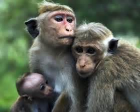 Monkey Wallpaper by Monkey Indian Monkey Funny Spiderman Monkey Hd Images