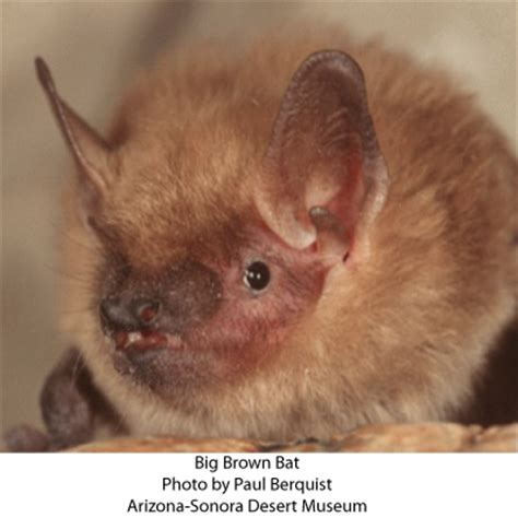 creatures of the night: the bats | arizona daily independent