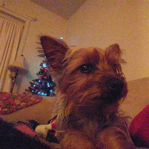 show me a picture of a yorkie yorkie photos yorkiepassion