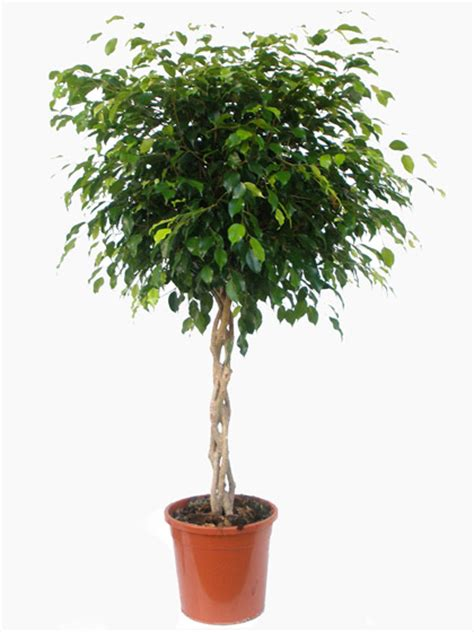 Best Indoor Plants by Ficus Benjamina Weeping Fig Braided Stem For Sale