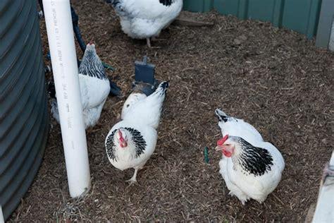 Backyard Chickens Bumblefoot Bumblefoot In Backyard Chickens Madge