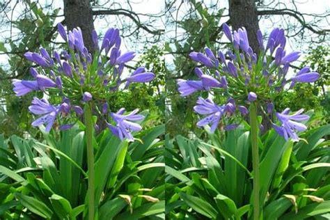 Agapanthus Biru kumpulan nama bunga lengkap dari a z beserta gambar dan penjelasannya bibit