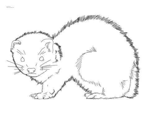 baby ferret coloring page