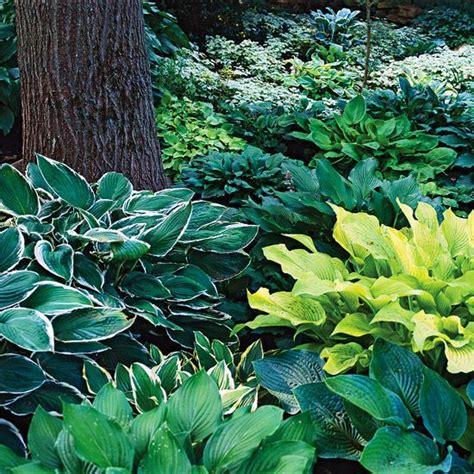 gardens hosta gardens and shade plants on pinterest