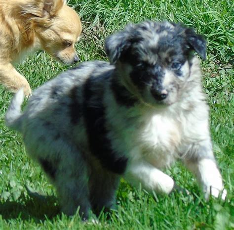 merle puppies for sale pedigree blue merle border collie puppies for sale
