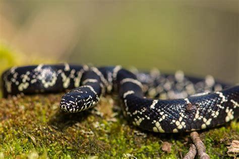 king snake colors kingsnake san diego zoo animals plants