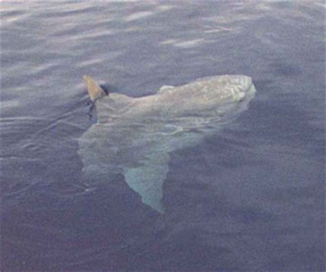 fort desoto boat r tuna and dorado fishing is hot for ensenada charter boats