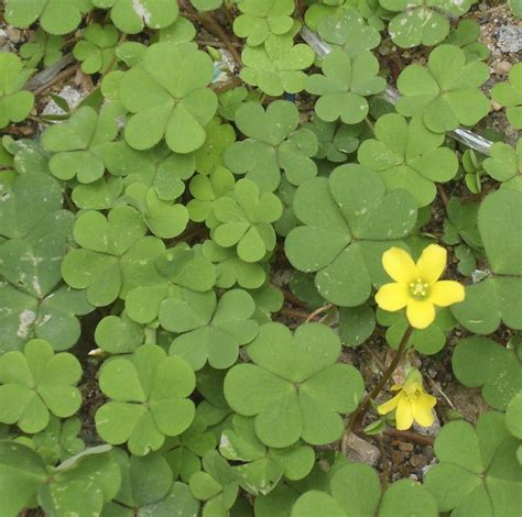 weeds backyard bounty in your backyard a brief guide to edible weeds