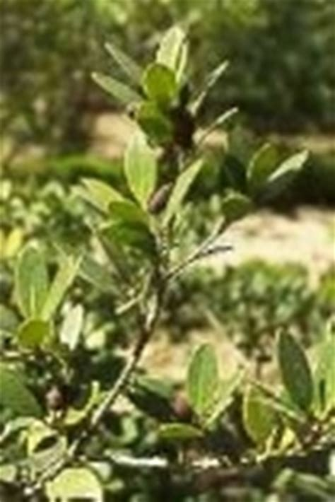 olea fragrans in vaso osmanto olea fragrans osmanthus osmanthus piante da