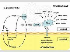 Gamma glutamyl transferase - Carabiens le Forum Gamma Glutamyl Transferase