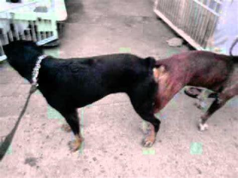 rottweiler or pitbull rottweiler x pitbull