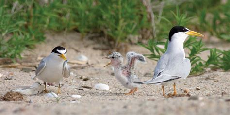 least tern bird www pixshark com images galleries with