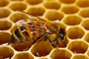 أسرار نمو النحلة وطبيعة العسل الخارج منها th?id=OIP.ndNk2urCGG