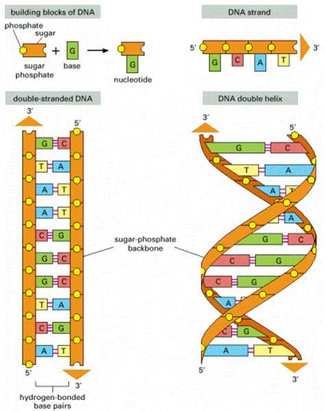 humanos con 3 cadenas de adn recursos de la ciencia