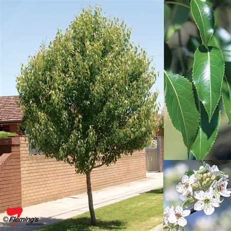 Best Sites For Home Decor ornamental pear dancer perth wa online garden centre