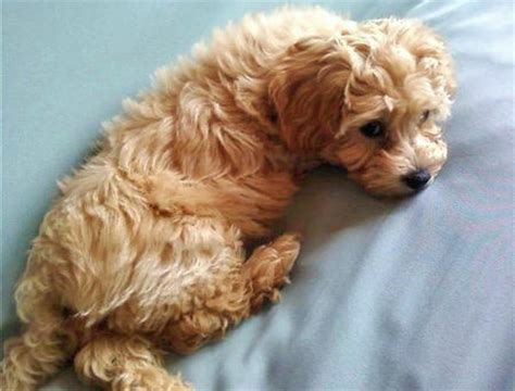 lifespan of yorkie poodle a poodle mixed with a yorkie photo