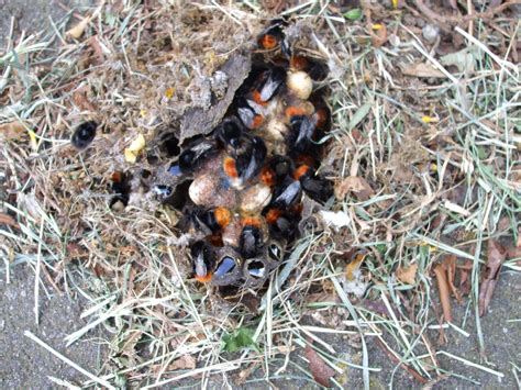 Bumble Bee Nest Shed by Bumblebees Flowers Forums