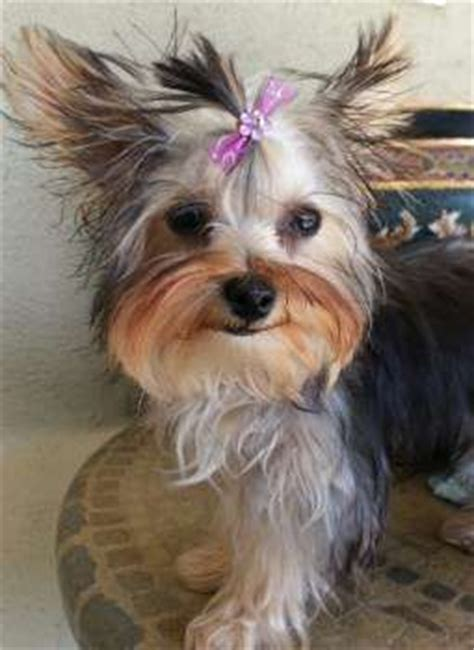 yorkies hair 1000 images about yorkies on