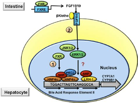 mechanisms of bile acid feedback inhibition of bile acid