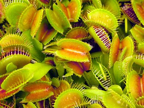 venus flytraps images venus fly trap hd wallpaper and background photos 21387499