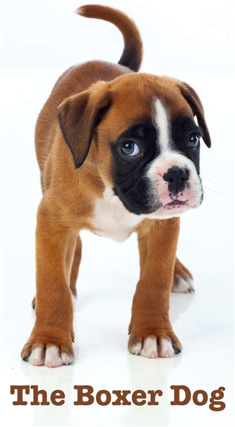why are dogs called dogs the boxer a complete guide