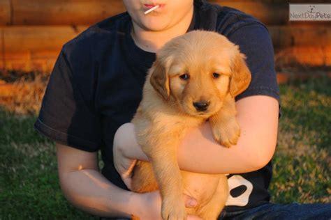 light golden retriever puppies adopt golden retreive a golden retriever puppy for and light colors