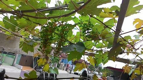 Benih Pokok Anggur semua menjadi pokok anggur berbuah di johor siri 2
