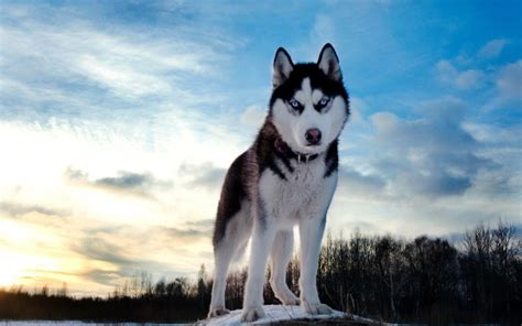 Jaket Huskies Abu siberian husky s coat enables it to withstand temperatures from 58 to 76 degrees f pass