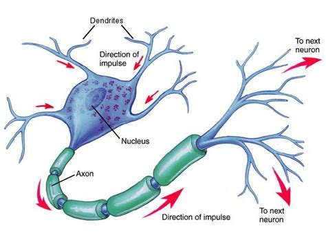brain cell diagram biological foundations neuron communication studyblue