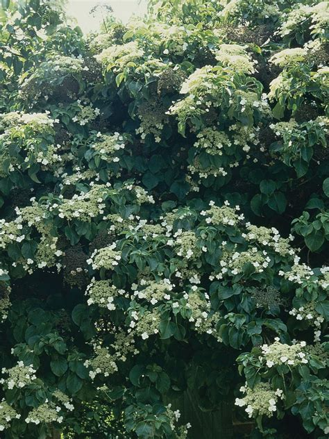 climbing flowering plants for shade climbing plants for shade shade plants hgtv