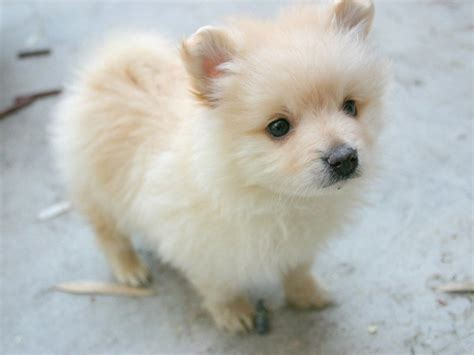 Pomeranian Photo And Wallpaper Beautiful Pomeranian Pictures