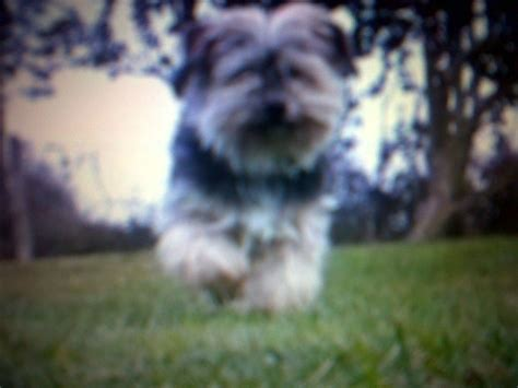 looking for a yorkie looking for a free puppy maltese yorkie malvern worcestershire pets4homes