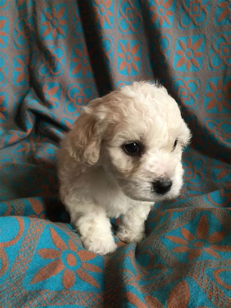 maltichon puppies for sale 1 maltichon puppy for sale ashton lyne greater manchester pets4homes