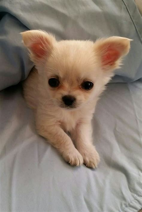 baby chihuahua puppies best 25 chihuahua puppies ideas on chihuahua dogs chihuahuas and