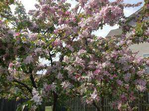 tree with dark pink and light pink flowers by a7xfan666 on deviantart