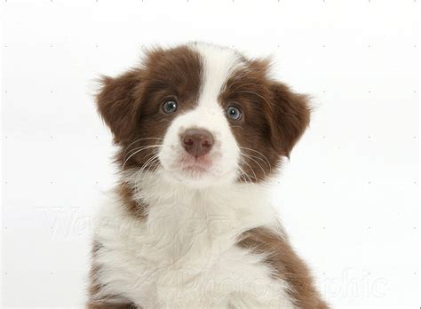 brown border collie puppies basic information on brown border collie puppies border collie